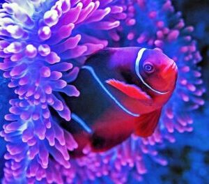 Media relations symbiotic clown fish anemome