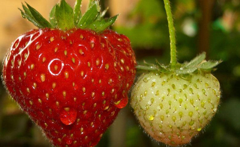 Low hanging fruit strawberries
