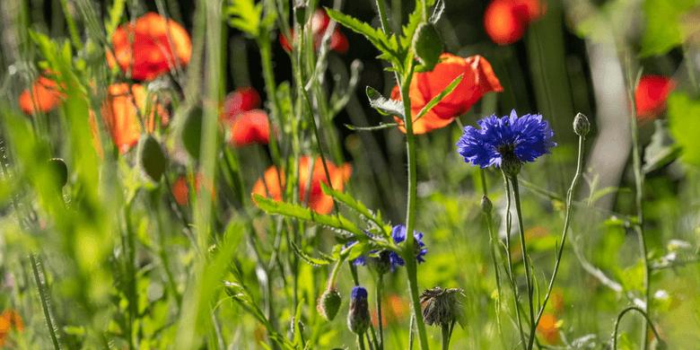 Environment PR biodiversity wild flower meadow